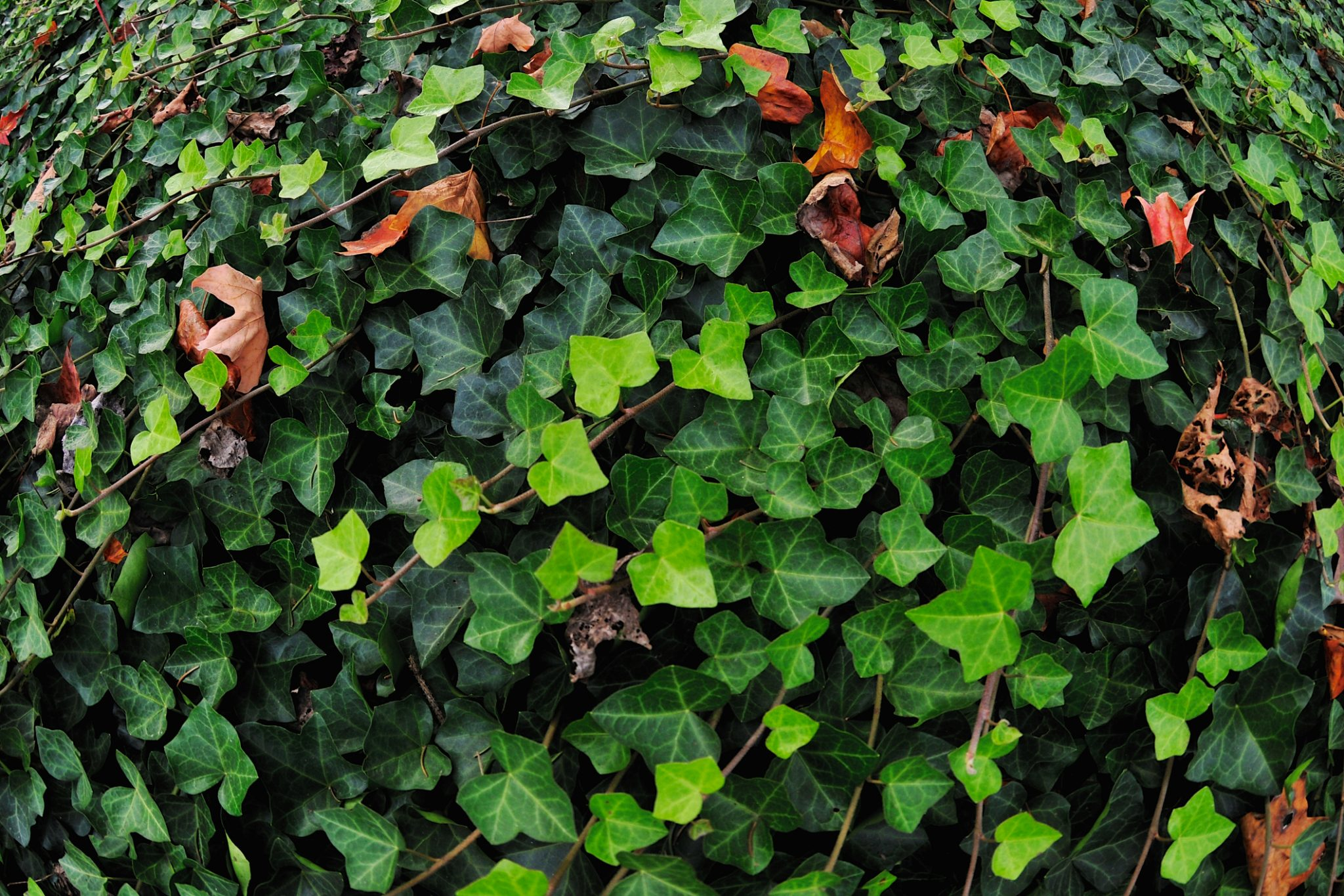Wanted: Garden Escapee, English Ivy